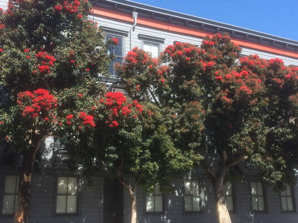 Red flowering gum tree bees n blooms red flowering gum grows fast and is extremely showy when in bloom an established tree is drought tolerant and does not need pruning mightylinksfo