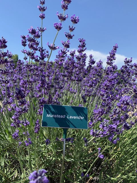 Lavender Bloom Status — 2019 – Bees N Blooms